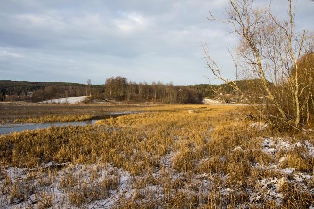 Foto Mats Holmberg. Tunomsbäcken. Vassbevuxet utlopp Klingstatjärn.