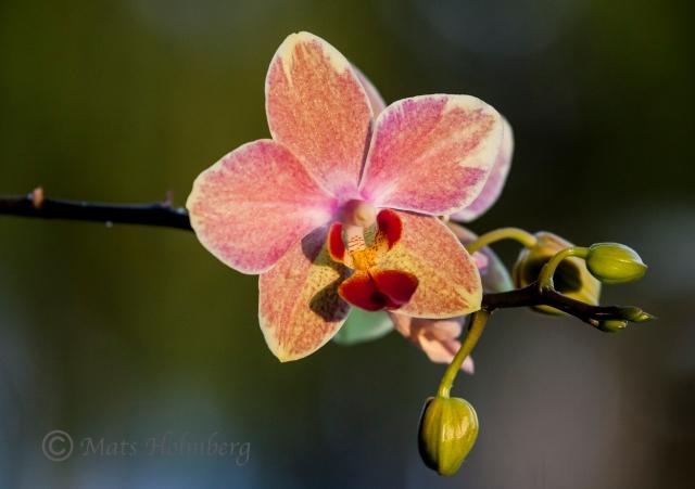 Foto Mats Holmberg Blommande orkidé