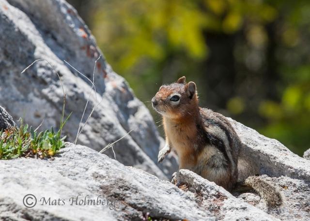 Foto Mats Holmberg Ekorre på Sulphur Mountain, Banff