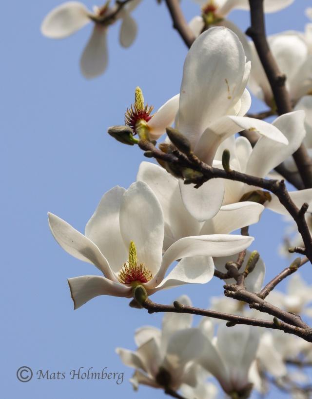 Foto Mats Holmberg  Magnolian blommar i Sommarmpalatset