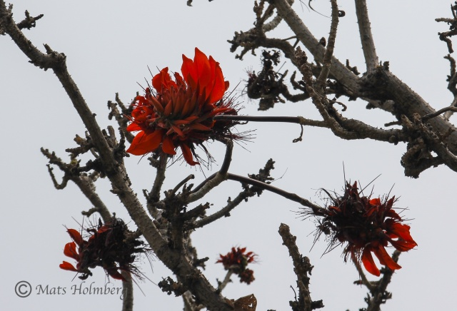 Foto Mats Holmberg  Röd blomma på naken kvist i Hainan