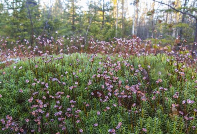 Foto Mats Holmberg Smörblommor i Gammelstuhölen