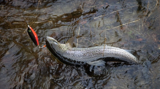 Photo Svanthe Harström.  River Ljungan Sweden, seatrout