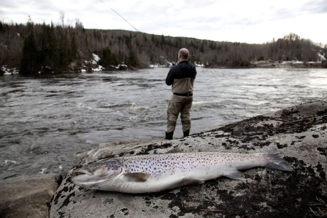 Photo Svanthe Harström Seatrout fishing. Spinning. River Ljungan, Sweden