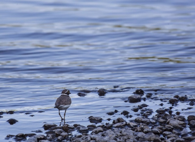 Photo Svanthe Harström Little Ringed Plover. Mindre Standpipare