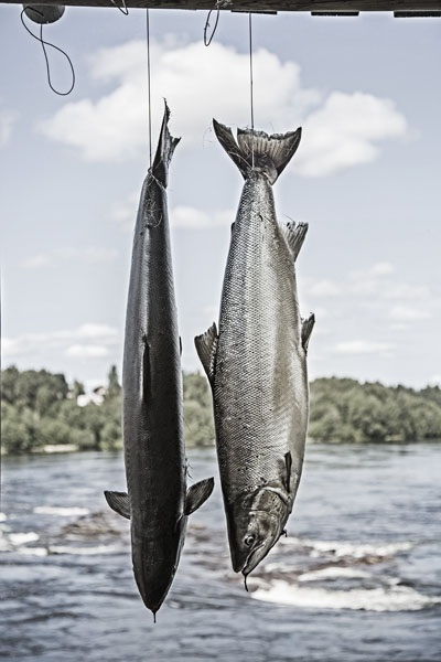 Photo Svanthe Harström Two Salmons