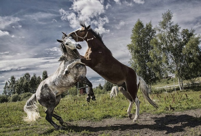 Photo Svanthe Harström Horses