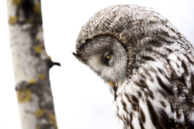Photo Svanthe Harström Grey Owl in aspen Lappuggla i asp