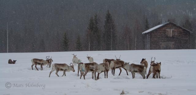 Foto Mats Holmberg Renar i närheten av Bjurholm C
