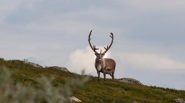 Foto Mats Holmberg Rentjur på Storkläppen mot Svansjön