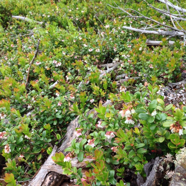 Photo Leo Oras Vaccinium vitis-idaea (lingonberry or cowberry) - Lingon