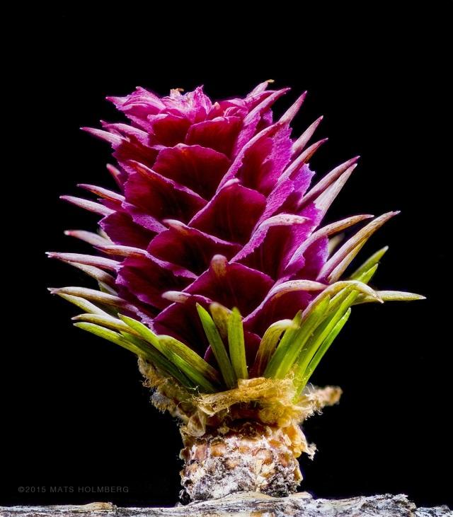 Lärkträdets blomma Foto Mats Holmberg